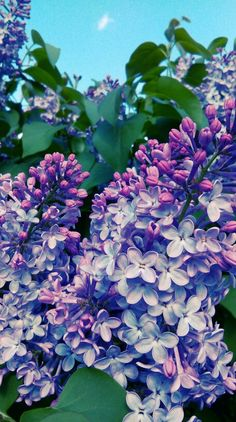 #lilac #lilaclower #spring #purple #april #blueskies #flowers
