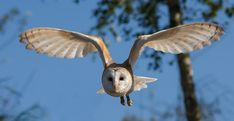 How To Attract Barn Owls (And Keep Your Homestead Rodent-Free) | Off The Grid News