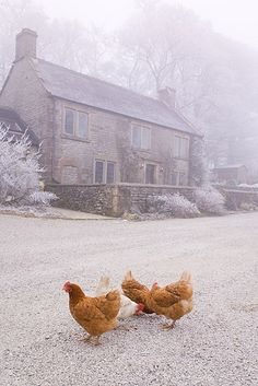 Content in a Cottage: Hoar Frost in England with Chickens Country Life, Country Living, French Country, Chickens And Roosters, Winter Chickens, English House, English Manor, Galo, Jolie Photo