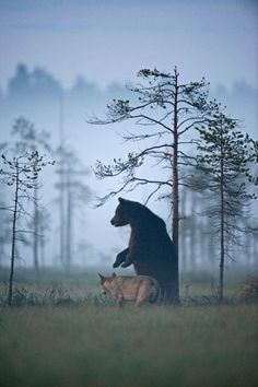 Urso e lobo são bons amigos. Imagens de amizade incomum entre loba e urso é captura por fotógrafo finlandês.