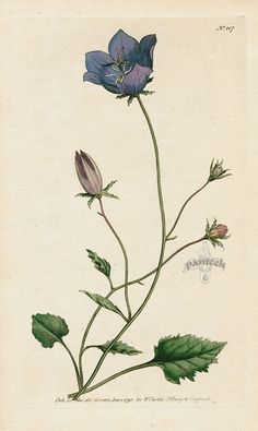 Campanula Carpatica. Carpatian Bell-Flower. from William Curtis Botanical Magazine 1st Edition Prints Vol 1-6 1787