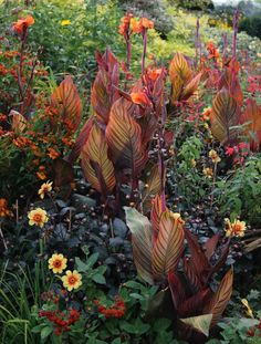 How to Plan for a More Colorful Flower Garden – Longfield Gardens - Garden planning Exotic Flowers, Tropical Flowers, Tropical Plants, Colorful Flowers, Beautiful Flowers, Tropical Gardens, Canna Lily Landscaping, Tropical Landscaping, Succulent Landscaping