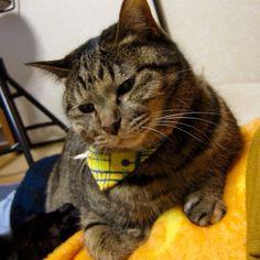 「一瞬しか使えなかった首輪。すぐ外しちゃいました^^; #neko #cat #猫 #ねこ #猫写真 #photocat #猫部 #キジトラ #browntabby #365cat」