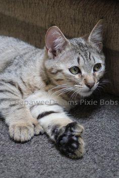 36 Best Pixie Bob cat images in 2013 | Pixie bob, Pixie bob