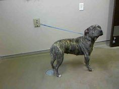 *SUNKISS-ID#A695755    Shelter staff named me SUNKISS.    I am a female, brown brindle and yellow Pit Bull Terrier.    The shelter staff think I am about 1 year and 6 months old.    I have been at the shelter since Jan 26, 2013.