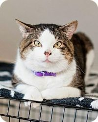 George is an adoptable Domestic Short Hair Cat in Saint Charles, MO. Hi my name is George. I'm a very sweet boy with lots of personality. I love people and get along with dogs. http://www.petfinder.com/petdetail/22622698