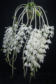 Dendrobium Anosmum | Dendrobium anosmum albo