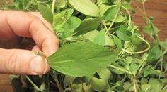 Se você quer largar o cigarro: esta planta elimina a vontade de fumar instantaneamente! | Cura pela Natureza