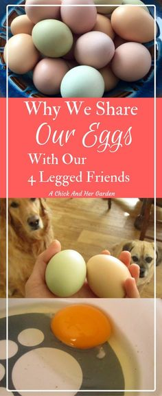 Should you let your dogs eat eggs? We think so! Check out all the benefits!