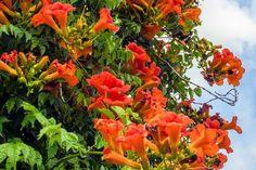 Hummingbird Bird Bath, Hummingbird Flowers, Flowers That Attract Hummingbirds, Attracting Hummingbirds, Humming Bird Feeders, Wild Birds, Creepers, Amazing Flowers, Backyard Landscaping