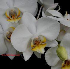 Phalaenopsis White Dream