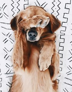 adorable golden retriever