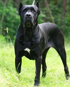 cane corso~one of my favorite dogs