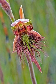 espèce d'orchidée sauvage
