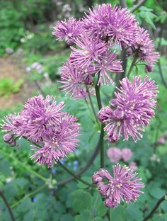 Plants for shade: meadow rue (Thalictrum aquilegiifolium 'Thundercloud'). Grow it in partial shade, in humus-rich soil. Find more at http://www.gardenersworld.com/plants/search/name/thalictrum/