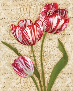 Heirloom Tulip II