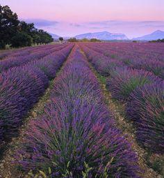 Lavender Blush : Valensole, Provence, France : Photography of Ian Cameron Valensole, Paris Love, Lavander, Provence France, South Of France, Perfume, Exterior, Twilight, Landscape