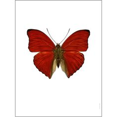 Liljebergs Butterfly Photograph - Cymothoe Sangaris ($71) ❤ liked on Polyvore featuring home, home decor, wall art, butterflies, red, photo wall art, butterfly home decor, red wall art and red home decor
