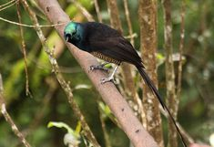 ave del paraiso nueva guinea - Buscar con Google