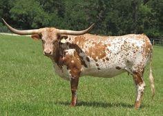 Registered Texas Longhorn CWR Rio Wendy Texas Longhorns, Rio, Dairy, Beef, Ox, Steak