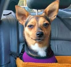 Image result for taco terrier