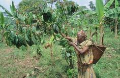HARVESTING COFFEE, CAMEROON. SW Province, Mount Kupe - Nyasoso. Coffee being harvested. Coffee is grown as a cash crop on exhausted land. CDREF00220