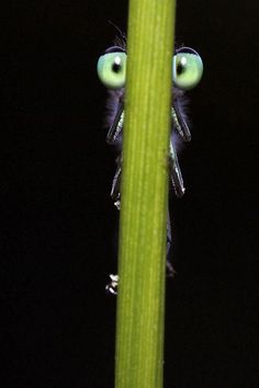 I'm Hiding! A damselfly hiding behind a blade of grass, so no evil predator (read: photographer) can see him......