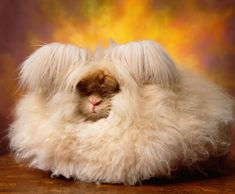 The Cuddly, Fluffy, Surreal World of Angora Show Bunnies - NYTimes.com