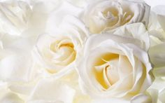 WALLPAPERS HD: White Roses