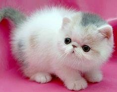Meow shortform.