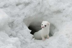 The least weasel is the smallest member of the Mustelidae, native to Eurasia, North America and North Africa