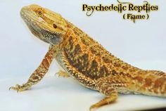 Psychedelic Reptiles