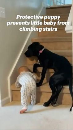 Protective puppy prevents little baby from climbing stairs