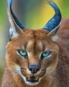"""The caracal is a medium sized cat which it spread in West Asia, South Asia, and Africa. The word Caracal is from Turkey """"Karakulak"""" which means """"Black Ears"""". Here is all about caracal as a pet. Rare Animals, Animals Images, Animals And Pets, Big Cats, Cats And Kittens, Cute Cats, Beautiful Cats, Animals Beautiful, Caracal Caracal"""