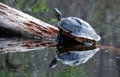 Pond Slider turtle sunning itself in the Okefenokee National Wildlife Refuge during the Georgia Wildlife Federation's Camp Charlie. Photo by Hank Ohme.