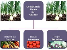 (link) Companion Planting with Onions ~ Onions repel and/or distract aphids, carrot flies, and other garden pests. They are very useful in a garden, but shouldn't be planted near beans, lentils, peas, or parsley. After cutting an onion you can keep it fresh longer using an onion saver container. ~ for more great PINs w/good links visit @djohnisee ~ have fun!