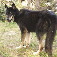 Wolf German Shepherd Malamute Mix   Best Mutts   Pinterest ...