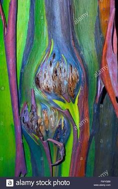 Image result for rainbow eucalyptus
