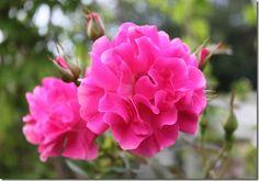 Ruffled Cloud Rose