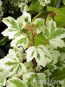 Acer campestre - Variegated Hedge Maple - Woody Trees, Shrubs & Vines