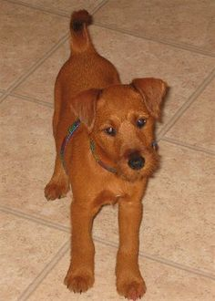 Irish Terriers.... Adorable baby!!!