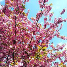 Le printemps. #spring #printemps #flowers #cherryblossom #blossom #tree #france #paris #beautiful #nature #sky #instagood #fleurs #flowerstagram #sunshine #instaflowers #picoftheday