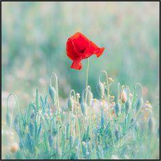 Papaveri - Poppies by beppeverge, via Flickr