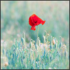 Papaveri - Poppies by beppeverge, via Flickr