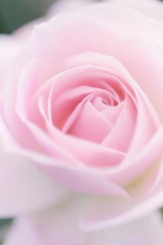 Soft shade of pink ~ Bebe'!!!  ●✿●  Such beauty...a perfect pink rose!!!