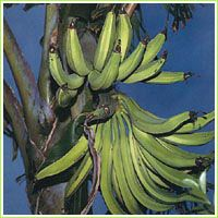 Buy Banana Plants & More Tropical Plants For Sale from Florida Hill Nursery located in sunny Orlando, Florida! Banana Fruit, Banana Plants, Fruit Plants, Fruit Garden, Garden Trees, Fruit Trees, Trees To Plant, Musa Banana, Papaya Plant