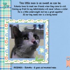 "NYC TO BE DESTROYED 04/14/15 KATENKA. ""Sure he looks a bit rough around the edges but this guy is sweet. Pure sugar he looks to butt head and cuddle with you right away. Such a gentle affectionate guy who lost his way. Found in the bathroom of a city park. ID #A1031865. Neutered male gray & white about 6 YEARS old. ABANDONED. I came in with Group/Litter #K15-008617. https://www.facebook.com/nycurgentcats/photos/a.989257874425533.1073742654.220724831278845/989257974425523/?type=3&theater"