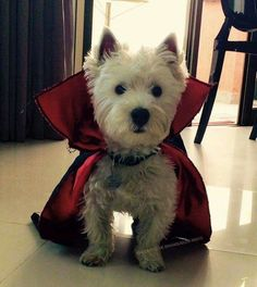 I vant to lick your face. Cute vampire Westie at Halloween.