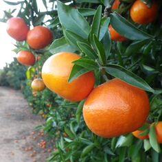Clemenvilla  Nova, a hybrid orange tree