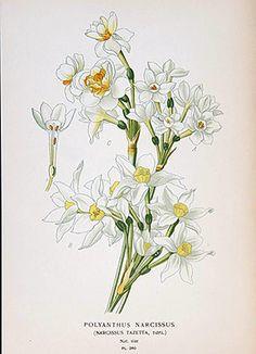 Narcisse (Narcissus, Pseudo-Narcissus)| Remèdes de Grand-Mère